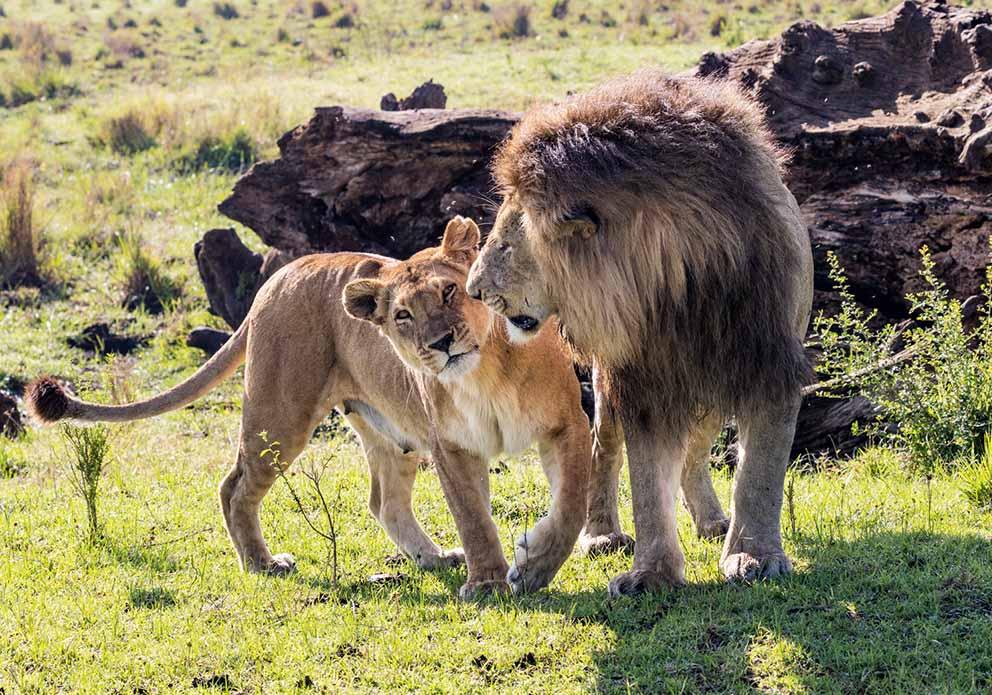 13 days Tsavo West, Amboseli, Samburu, Mount Kenya, Lake Nakuru & Masai Mara safari