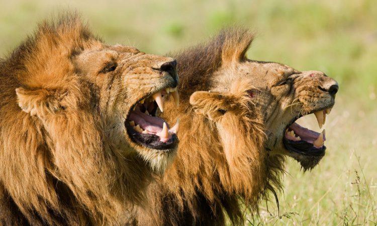 7 Days Tsavo East and Bwindi Gorilla trekking safari