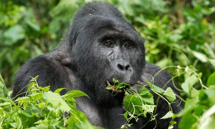 Gorilla Trekking in Uganda, Rwanda and DRCongo